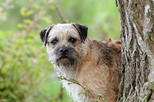 DOG 02 NR0087 01 © Kimball Stock Close-Up Of Border Terrier Standing Behind Tree Trunk