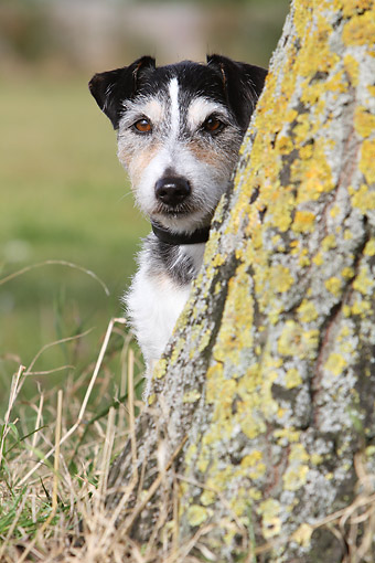 DOG 02 NR0089 01 © Kimball Stock Portrait Of Terrier Sitting By Tree Trunk