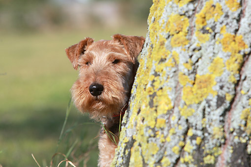 DOG 02 NR0091 01 © Kimball Stock Close-Up Of Welsh Terrier Sitting By Tree