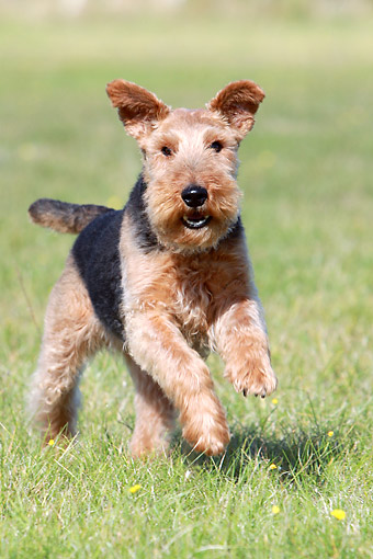 DOG 02 NR0092 01 © Kimball Stock Portrait Of Welsh Terrier Running On Grass
