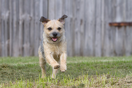 DOG 02 NR0096 01 © Kimball Stock Border Terrier Running Over Grass