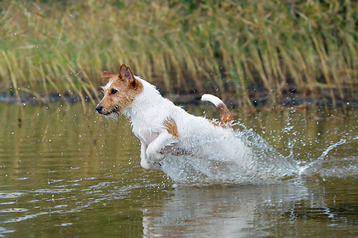 DOG 02 NR0098 01 © Kimball Stock Jack Russell Terrier Splashing Through Water