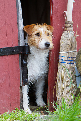 DOG 02 NR0099 01 © Kimball Stock Jack Russell Terrier Standing In Barn