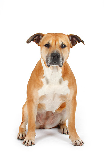 DOG 02 PE0002 01 © Kimball Stock American Staffordshire Terrier Sitting On White Seamless