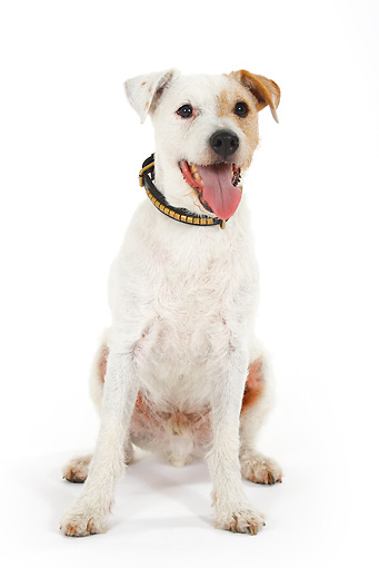 DOG 02 PE0003 01 © Kimball Stock Parson Russell Terrier Sitting On White Seamless