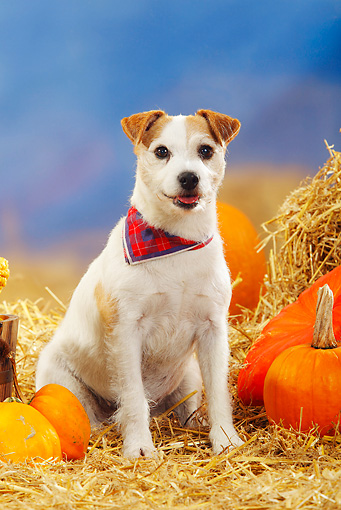 DOG 02 PE0004 01 © Kimball Stock Parson Russell Terrier Wearing Bandana Sitting In Hay By Pumpkins