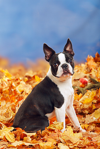 DOG 02 PE0005 01 © Kimball Stock Boston Terrier Sitting In Autumn Leaves