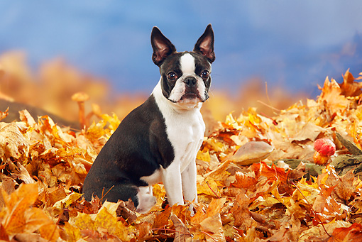 DOG 02 PE0006 01 © Kimball Stock Boston Terrier Sitting In Autumn Leaves