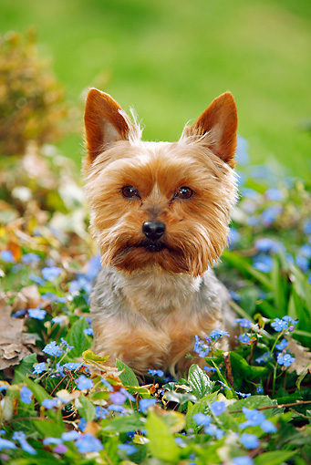 DOG 02 PE0012 01 © Kimball Stock Yorkshire Terrier Sitting In Blue Flowers