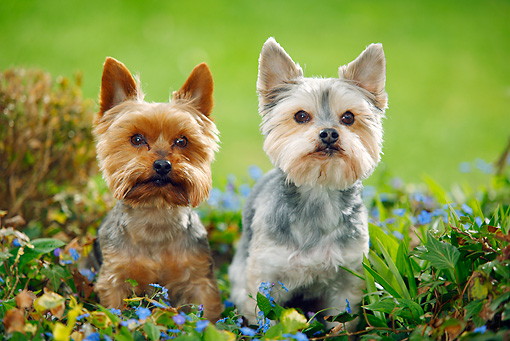 DOG 02 PE0013 01 © Kimball Stock Yorkshire Terrier And Yorkshire Maltese Mix Sitting In Blue Flowers