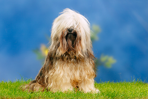 DOG 02 PE0014 01 © Kimball Stock Tibetan Terrier Sitting On Grass