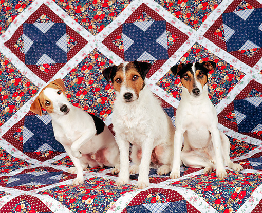 DOG 02 RK0014 11 © Kimball Stock Three Jack Russell Terriers Sitting On Quilt Background