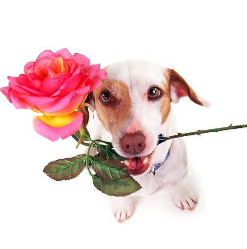 DOG 02 RK0050 05 © Kimball Stock Wide Angle Of Jack Russell Terrier With Rose In Mouth White Seamless Background
