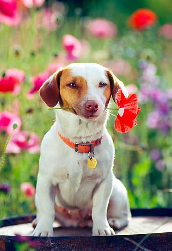 DOG 02 RK0075 09 © Kimball Stock Jack Russell Terrier Sitting With Flower In Mouth Facing Camera