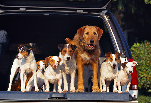 DOG 02 RK0090 04 © Kimball Stock Jack Russell Terriers And Mix Breed Standing In Back Of Truck
