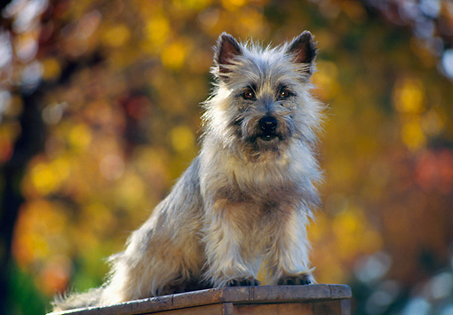DOG 02 RK0173 09 © Kimball Stock Cairn Terrier Sitting On Top Of Ladder