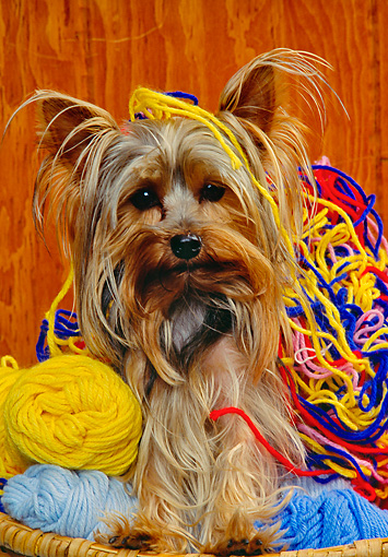 DOG 02 RK0224 02 © Kimball Stock Yorkshire Terrier Sitting In Basket Of Yarn Facing Camera