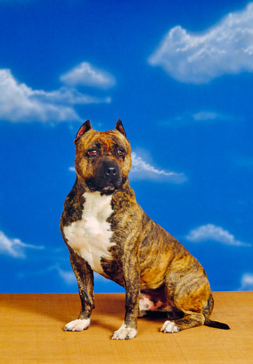 DOG 02 RK0254 01 © Kimball Stock Staffordshire Bull Terrier Sitting On Wooden Table Facing Camera Blue Sky Background