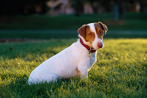 DOG 02 RK0341 07 © Kimball Stock Jack Russell Sitting On Grass
