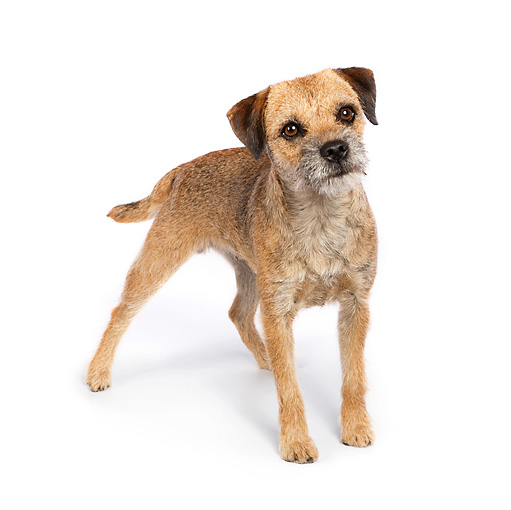 DOG 02 RK0421 01 © Kimball Stock Border Terrier Standing On White Seamless