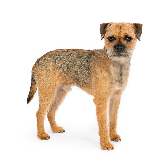 DOG 02 RK0422 01 © Kimball Stock Border Terrier Standing On White Seamless