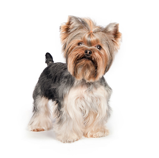 DOG 02 RK0431 01 © Kimball Stock Yorkshire Terrier Standing On White Seamless