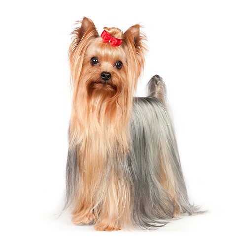 DOG 02 RK0433 01 © Kimball Stock Yorkshire Terrier Standing On White Seamless
