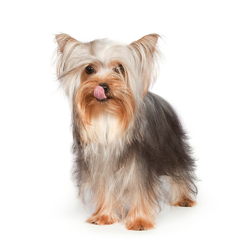 DOG 02 RK0435 01 © Kimball Stock Yorkshire Terrier Standing On White Seamless