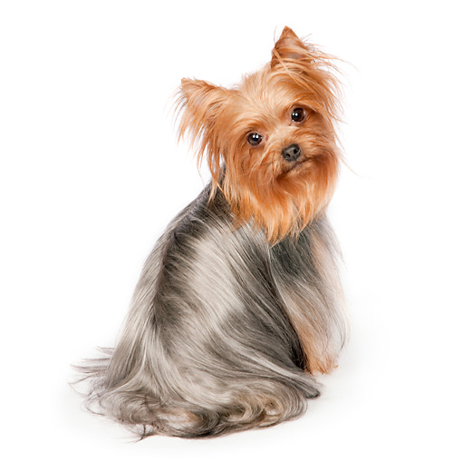 DOG 02 RK0441 01 © Kimball Stock Yorkshire Terrier Sitting On White Seamless