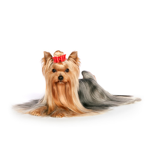 DOG 02 RK0442 01 © Kimball Stock Yorkshire Terrier Laying On White Seamless