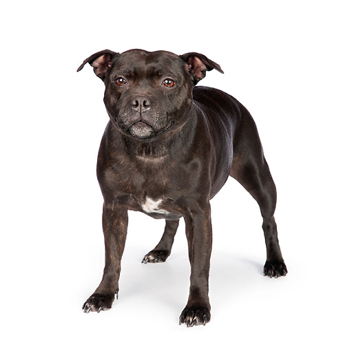 DOG 02 RK0449 01 © Kimball Stock American Staffordshire Terrier Standing On White Seamless