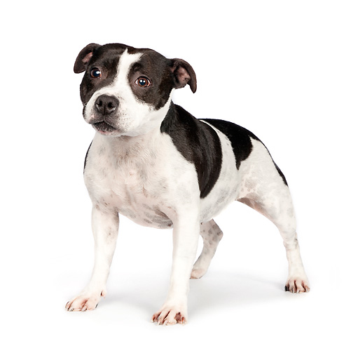 DOG 02 RK0452 01 © Kimball Stock American Staffordshire Terrier Standing On White Seamless
