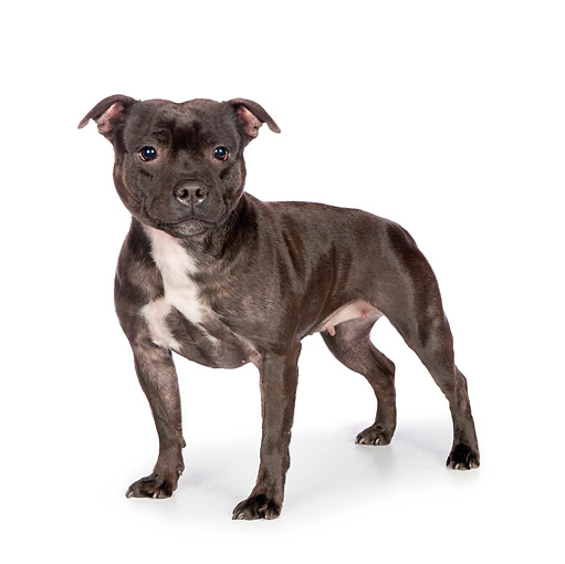 DOG 02 RK0453 01 © Kimball Stock American Staffordshire Terrier Standing On White Seamless