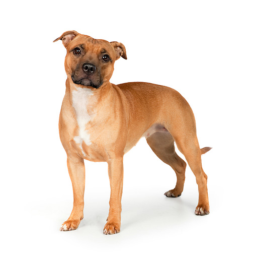 DOG 02 RK0456 01 © Kimball Stock American Staffordshire Terrier Standing On White Seamless