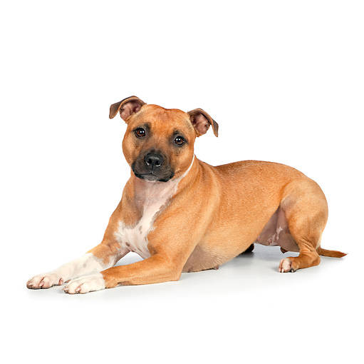 DOG 02 RK0458 01 © Kimball Stock American Staffordshire Terrier Laying On White Seamless