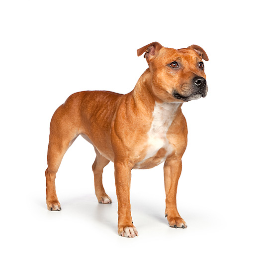 DOG 02 RK0459 01 © Kimball Stock American Staffordshire Terrier Standing On White Seamless