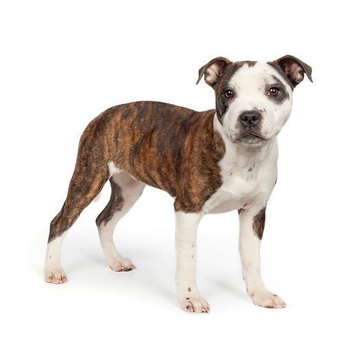 DOG 02 RK0463 01 © Kimball Stock American Staffordshire Terrier Standing On White Seamless