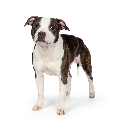 DOG 02 RK0465 01 © Kimball Stock American Staffordshire Terrier Standing On White Seamless