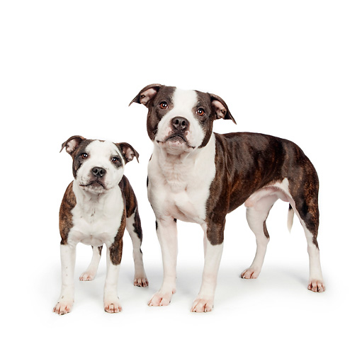 DOG 02 RK0466 01 © Kimball Stock American Staffordshire Terriers Standing On White Seamless