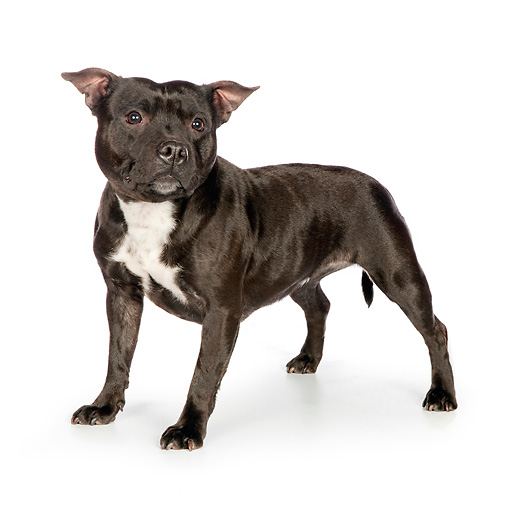 DOG 02 RK0468 01 © Kimball Stock American Staffordshire Terrier Standing On White Seamless