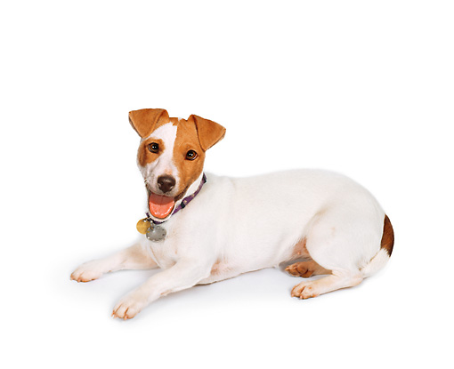 DOG 02 RK0471 01 © Kimball Stock Jack Russell Terrier Laying On White Seamless