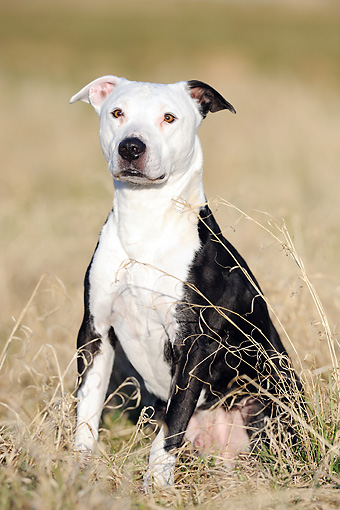 DOG 02 SS0004 01 © Kimball Stock American Pit Bull Sitting In Meadow