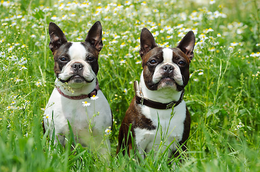 DOG 02 SS0005 01 © Kimball Stock Two Boston Terriers Sitting In Grass