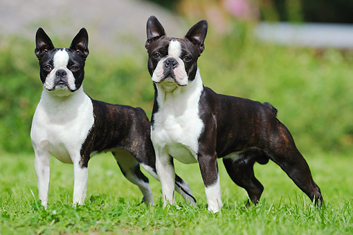 DOG 02 SS0008 01 © Kimball Stock Two Boston Terriers Standing On Grass