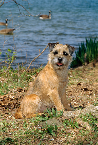 DOG 02 CE0003 01 © Kimball Stock Border Terrier Sitting By Lake