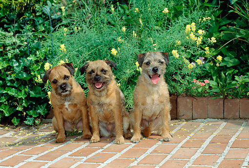 DOG 02 CE0005 01 © Kimball Stock Three Border Terriers Sitting On Brick Patio By Yellow Flowers