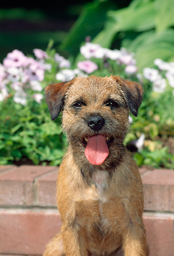 DOG 02 CE0006 01 © Kimball Stock Close-Up Of Border Terrier Sitting By Brick Wall And Lavender Flowers
