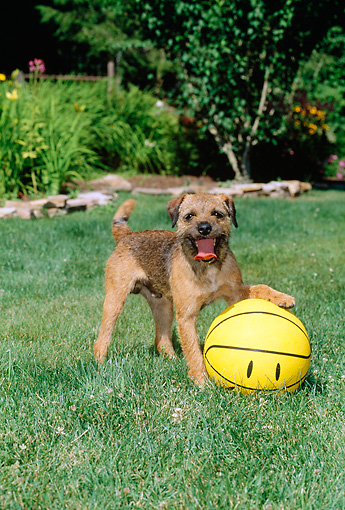 DOG 02 CE0008 01 © Kimball Stock Border Terrier Playing With Yellow Ball On Grass