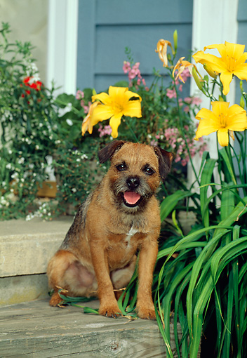 DOG 02 CE0011 01 © Kimball Stock Border Terrier Sitting On Wooden Steps By Yellow Flowers