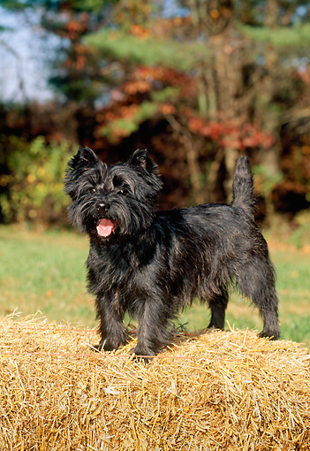 DOG 02 CE0012 01 © Kimball Stock Cairn Terrier Standing On Hay Bale By Trees